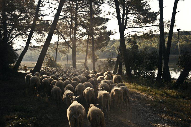 年輕的Roman每天早晚兩次帶著羊群循不同的路線吃草「踏青」。 張雍