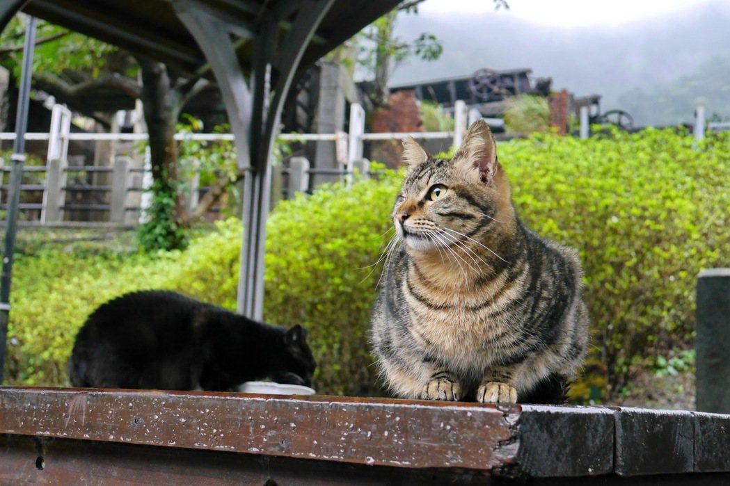 猴硐是知名的賞貓景點。 記者陳威任/攝影
