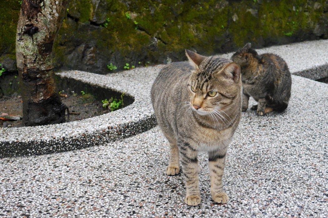 猴硐隨處可見成群的貓兒。 記者陳威任/攝影
