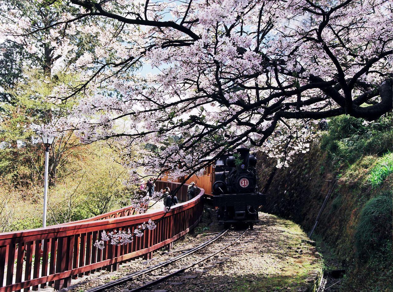 阿里山櫻花。 聯合報系資料照
