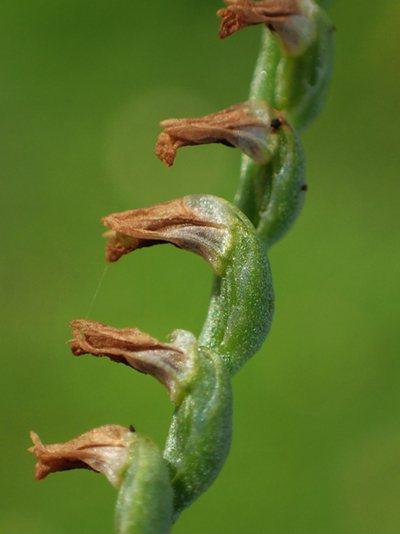 果實為蒴果,深褐色,長橢圓形,長約0.5公分,被細毛,乾燥後裂開,內含種子,圖為...