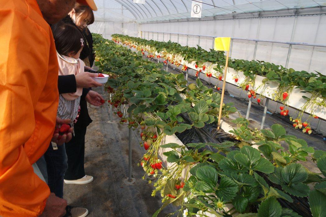 「華やぎ観光農園」的草莓採高架栽種,高度大約在成人腰際。記者楊德宜/攝影
