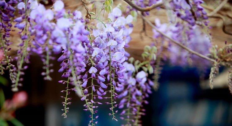 紫藤花就像懸掛在空中的紫色風鈴隨風搖曳,非常美麗。 圖/嘉義縣政府提供