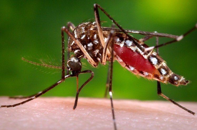圖為傳播登革熱和茲卡病毒的埃及斑蚊正在人體上吸血。 圖/美聯社