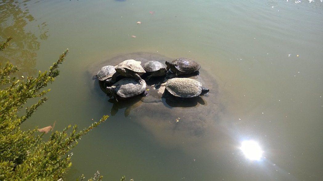 被放生的外來種巴西龜並沒有過得比較好,牠們經常只能擠在很有限的陸地上曬太陽。 圖...