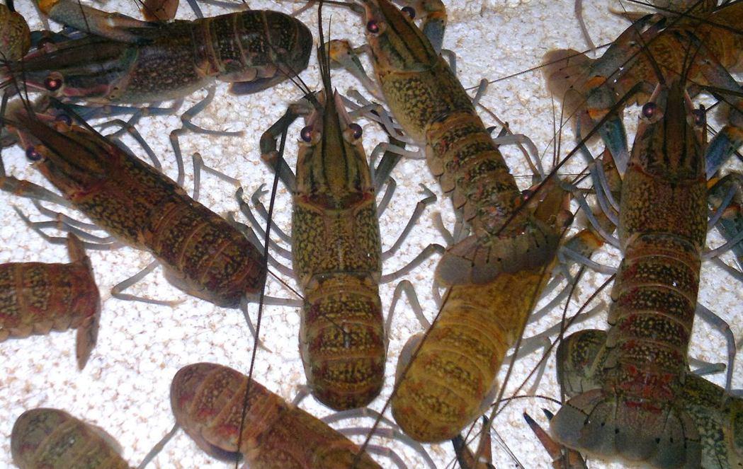 能吃掉許多小魚的澳洲淡水小龍蝦也經常被「小量放生」,然後就在南部的人工溼地泛濫成...