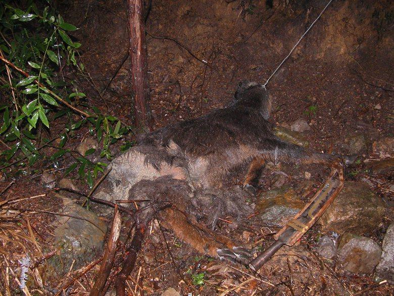 被吊索勒死的台灣長鬃山羊。 圖/毛俊傑提供