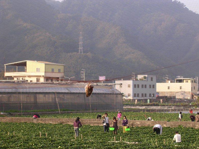 能夠開心採草莓是因為野鳥付出死亡的代價。 圖/毛俊傑提供