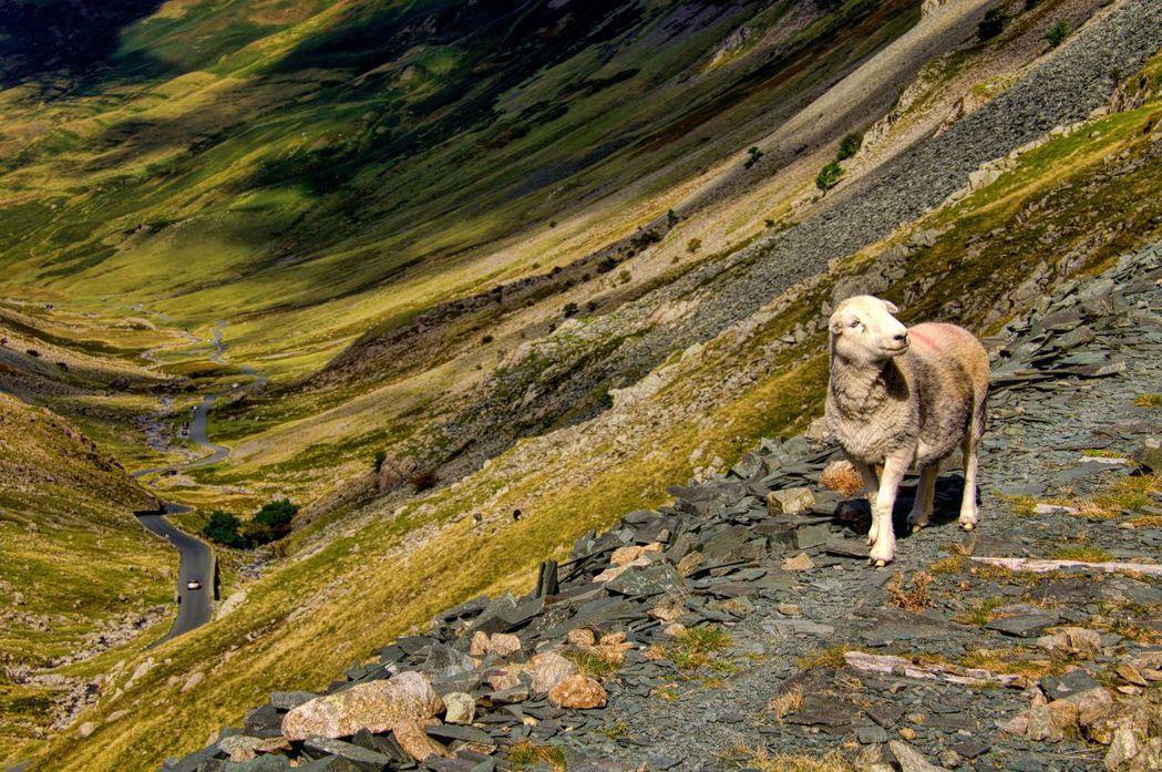 波特經常穿梭在湖區的各種農業活動中,展示她養的當地土羊Herdwick Shee...
