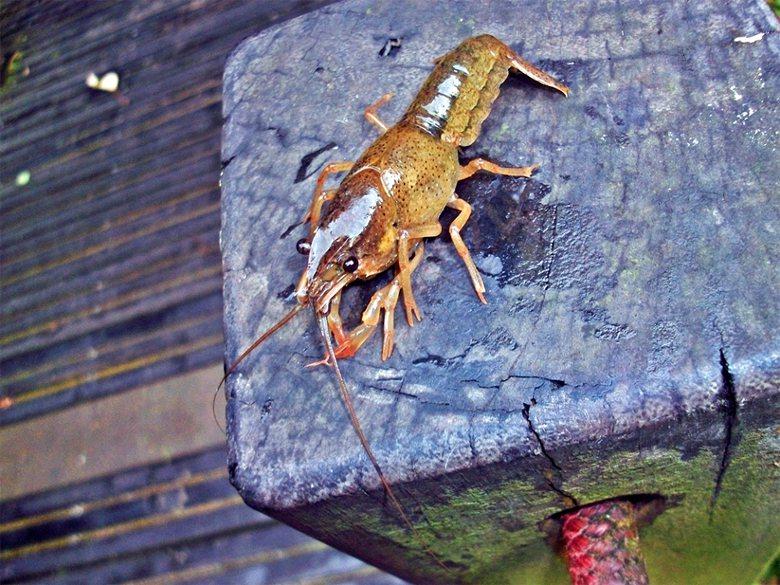 臺北市富陽自然公園,被個別小量放生的澳洲淡水龍蝦正在生長繁殖,擠壓保育類台北樹蛙的生存空間。 圖/作者自攝。