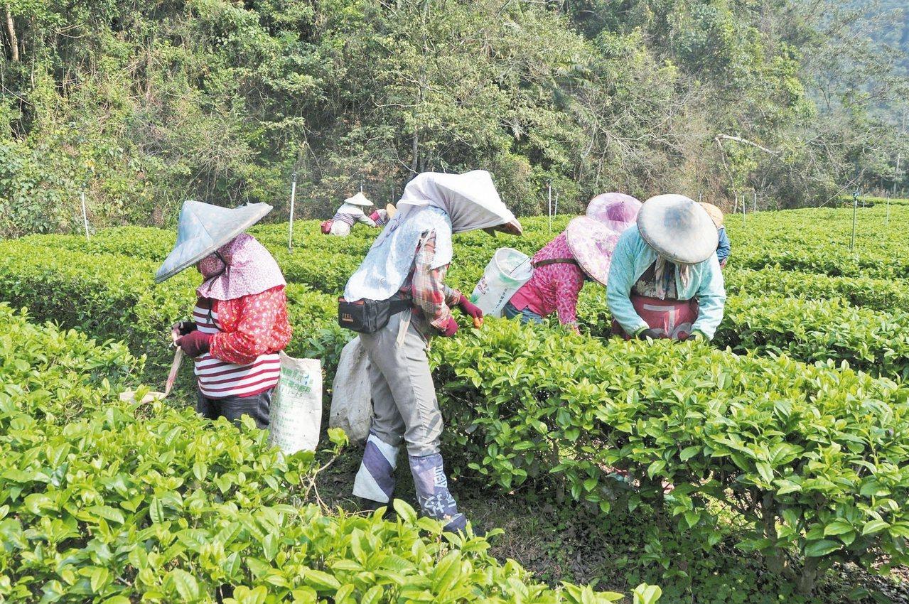 日月潭紅茶春茶即日起開始採收,茶葉專家說今年品質中上值得消費者採購品茗。 記者黃...