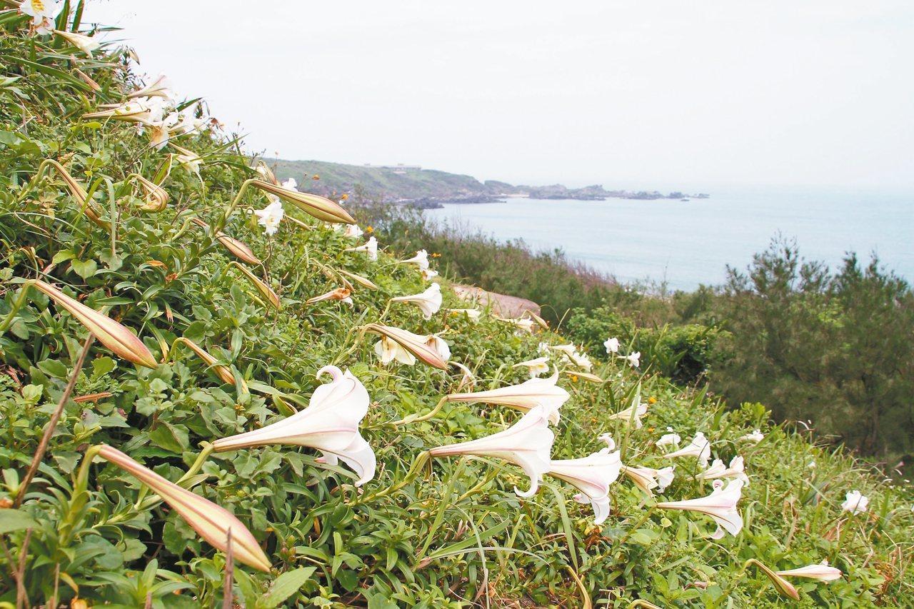 石門白沙灣麟山鼻野百合已花開6成,5月將可欣賞整片美麗的花海。 圖/北觀處提供