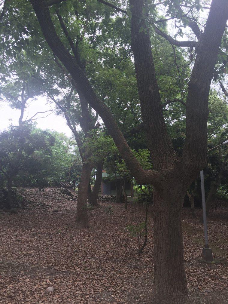 清水岩露營區內因樹木和落葉多,下雨後容易成為小黑蚊滋生溫床。 記者林宛諭/攝影