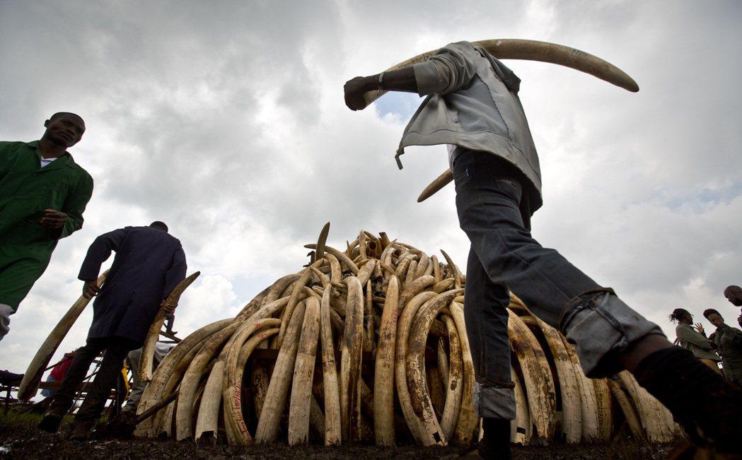 烈焰之下,是105公噸非法盜取的象牙。 圖/美聯社
