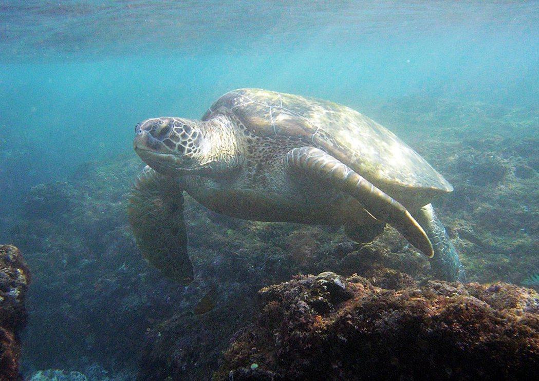 小琉球綠蠵龜。 圖/鵬管處提供