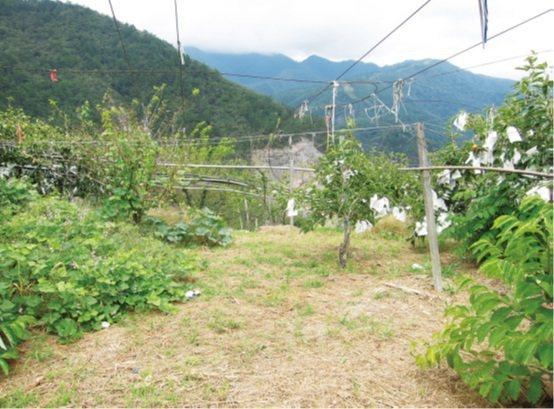 這是復育小米的園地,四周的竹竿是為了鋪蓋網子防止鳥害。攝影/陳怡如