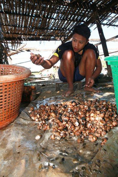 古亞漁工正在挑選剛出水的鳳螺。 記者黃義書/攝影