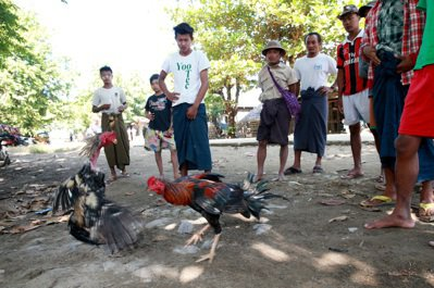 緬甸男人鬥雞消遣。 記者黃義書/攝影