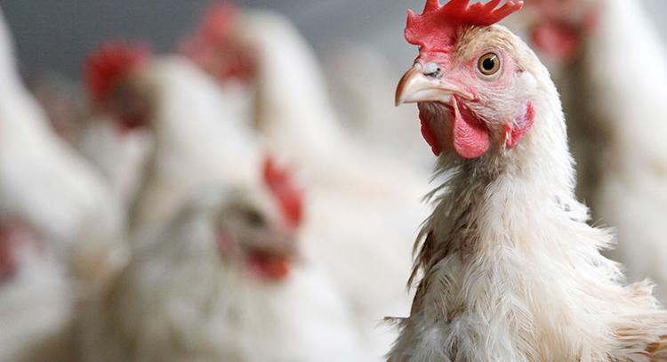 不僅人用嚴重,雞豬牛羊魚使用的動物用抗生素,也可能造成人體危害。 圖/ingim...