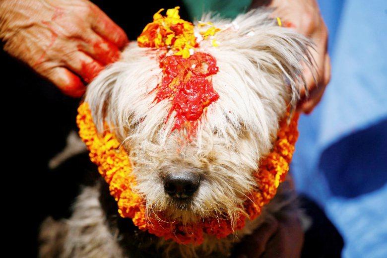 尼泊爾每年舉辦「Kukur Pujā」祭典上,會為狗塗上彩料,感謝牠們對人類的忠誠與付出。 圖/路透社