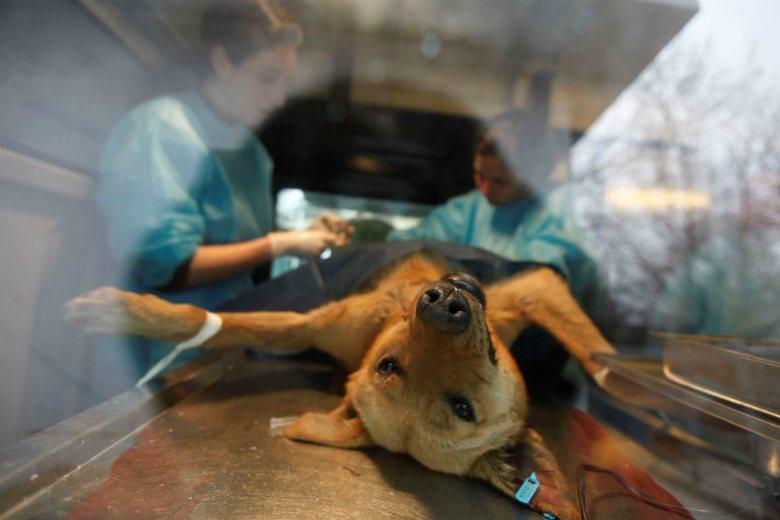 正在進行結紮手術的流浪犬。 圖/路透社