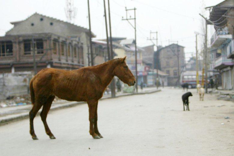 出現在印度街道上的流浪動物。 圖/美聯社