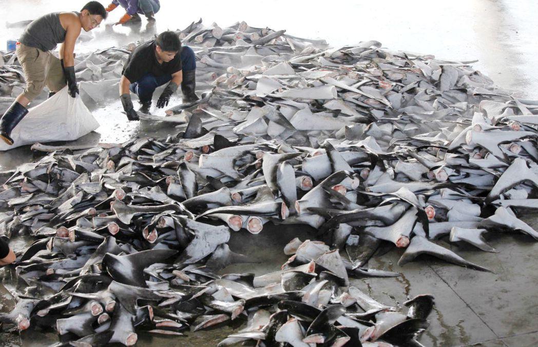 歐盟去年十月對台灣遠洋漁業寄出黃牌警告,但仍發生多起漁船疑似違法卸鯊魚鰭案件,NGO公民團體自行於港口調查發現東港漁船卸下大量鯊魚鰭並未鰭不離身。 圖/綠色和平提供
