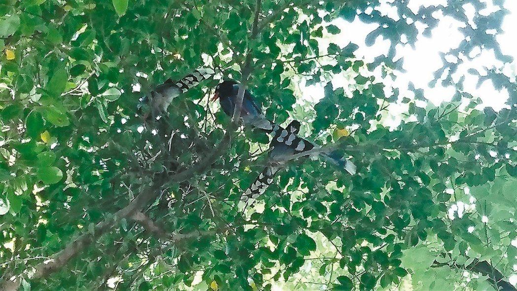 台灣藍鵲。 圖/公園處提供