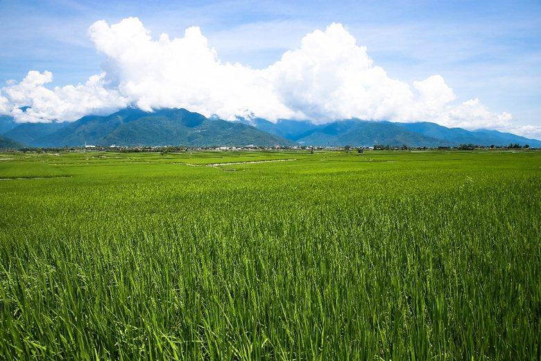 台東池上稻田。 攝影/記者王騰毅
