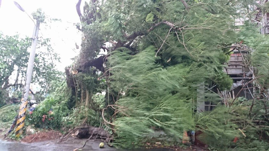 屏東市區一棵百年鳳凰樹清晨被風吹倒。圖/陳亮岑提供