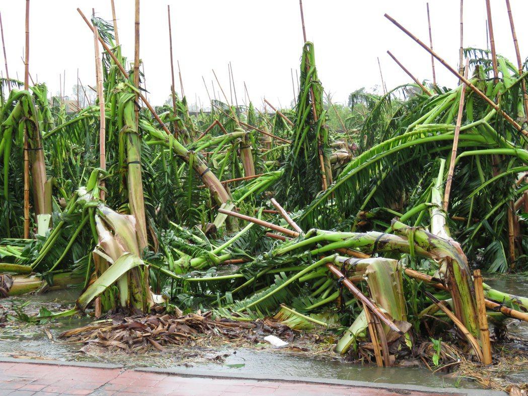 整片的香蕉園,因禁不起尼伯特帶來的強風,倒成一片。記者潘俊偉/攝影