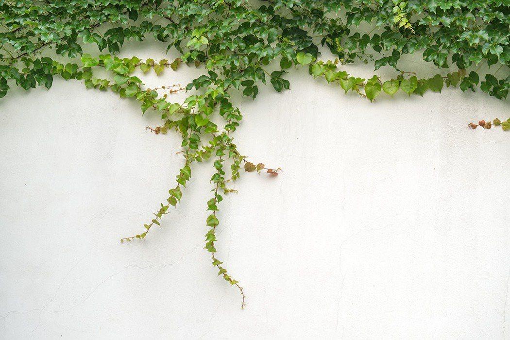 常春藤。 圖片/shutterstock