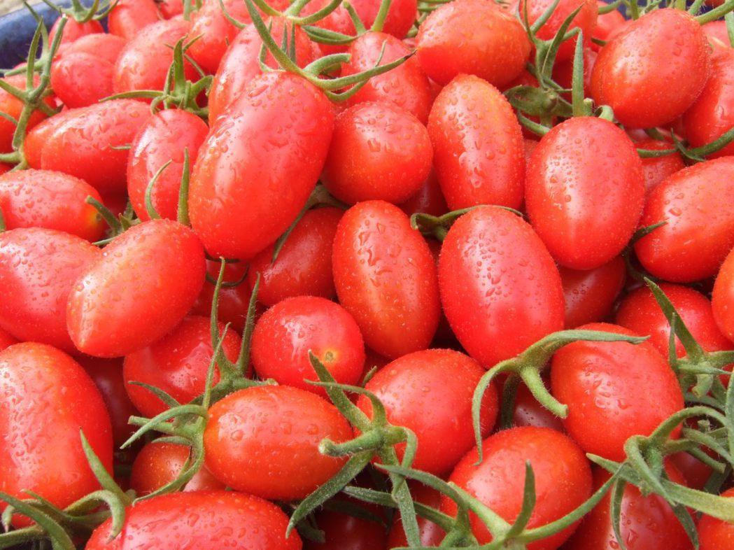 聖女小番茄。 聯合報系資料照