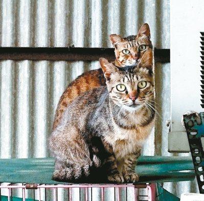獸醫師提醒,遇見貓咪瞪大眼睛保持警戒時,不要任意觸摸接近。 記者周宗禎/攝影