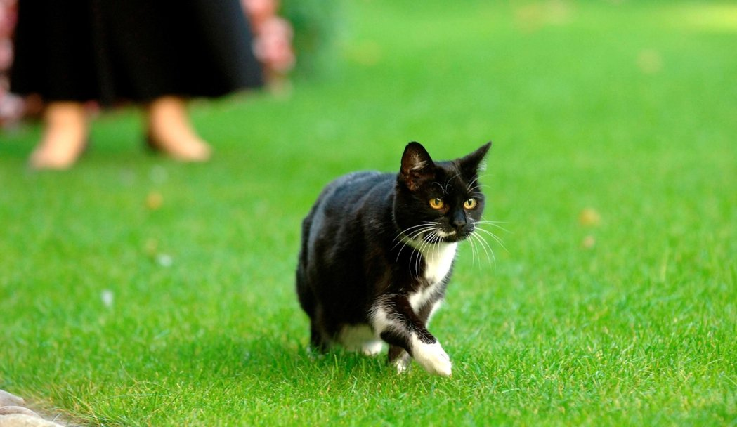 西碧爾貓。並不是每任首相都喜歡貓,前任工黨首相布朗就據說對捕鼠官的存在很是感冒。...