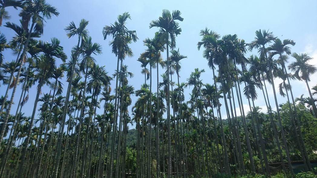 檳榔樹 報系資料照