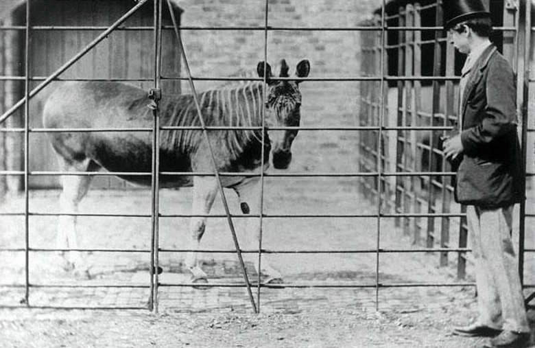 1864年攝於倫敦動物園的斑驢。這種動物在1870年代就已經因為狩獵在非洲絕滅,最後一隻個體於1878年死於動物園中。  圖/維基共享