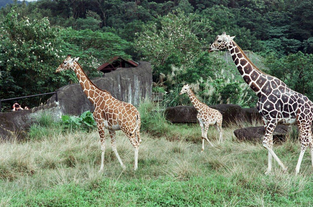 圖為台北市立動物園長頸鹿。 攝影/許伯崧