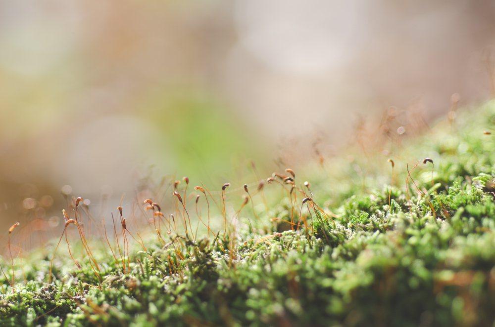 「humble moss」中的「humble」被台灣媒體譯為「謙虛的」。苔蘚沒事...