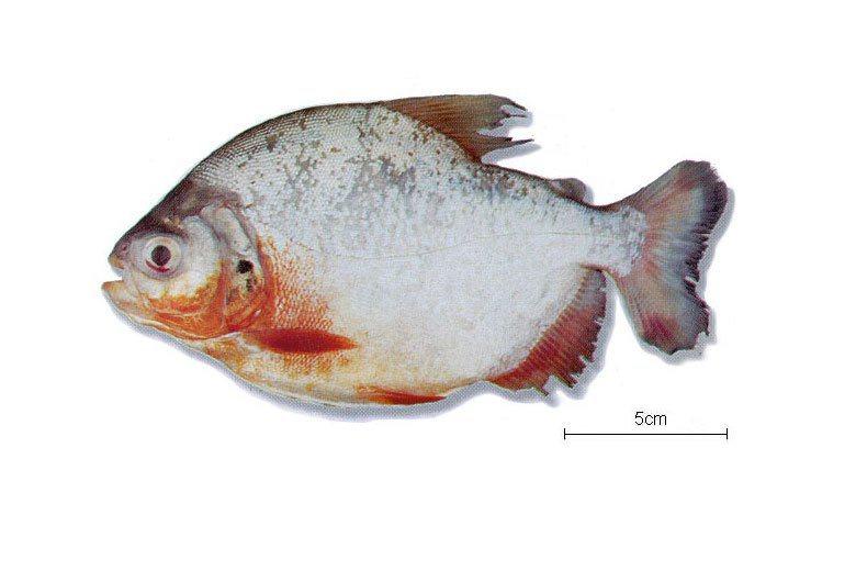 所謂的「人齒怪魚」其實是指在台灣的水族寵物市場上相當常見的「紅銀板」。 圖/取自fishbase.org