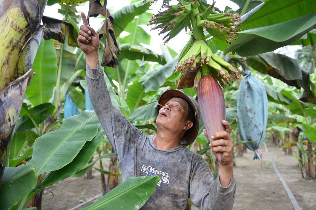 人稱「赤腳班長」的蕉農班長張宏士,在黝黑的皮膚與沾滿蕉汁的衣衫下,展開他的「國民...