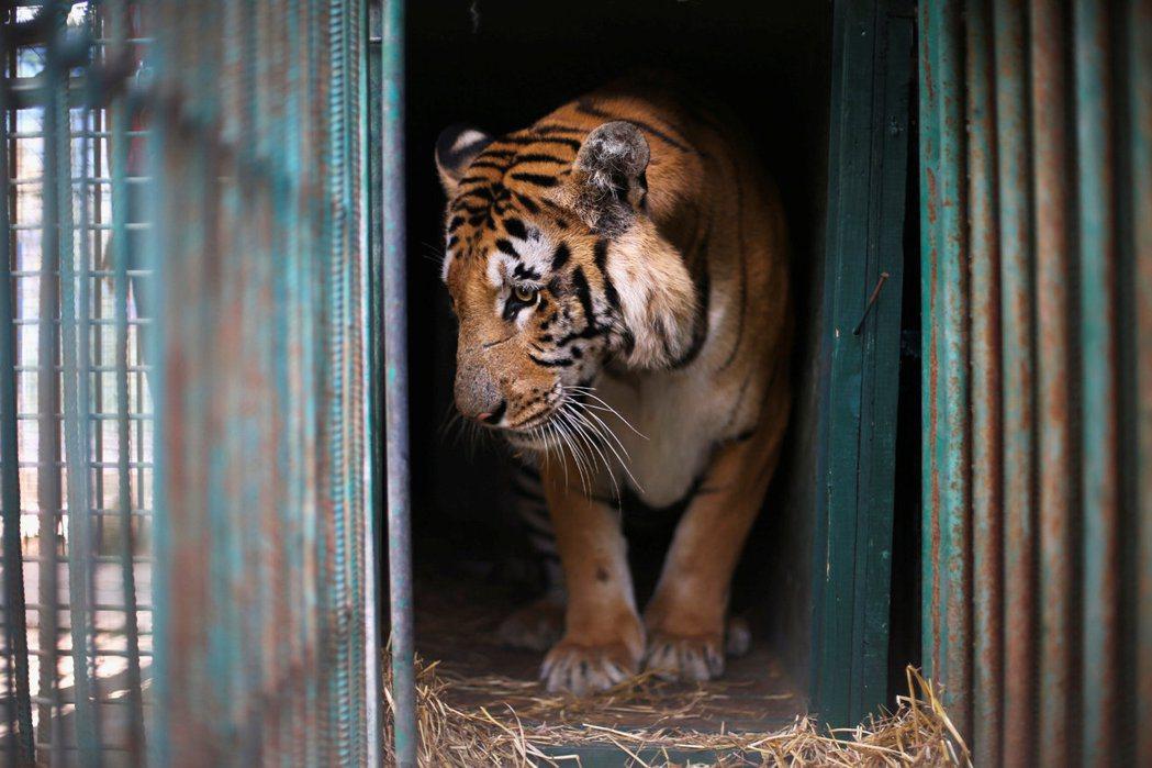 加薩走廊的最後一隻老虎:再見了,拉濟茲! 圖/路透社