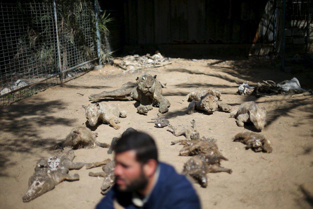 汗.尤尼斯動物園展示的「動物木乃伊」。 圖/路透社