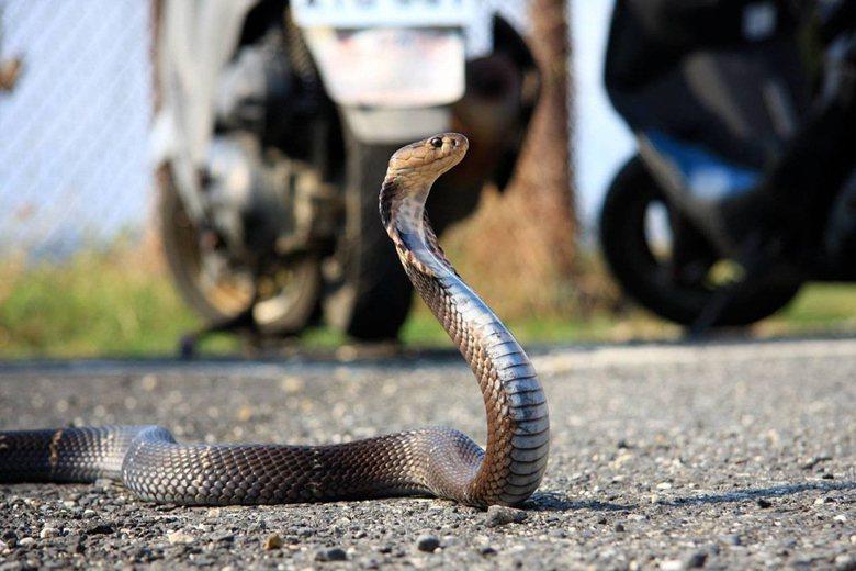 眼鏡蛇在《野生動物保育法》施行之後很早就被列入「珍貴稀有保育類動物」,也就是俗稱...