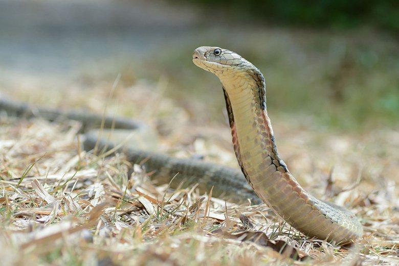 根據敝研究室研究資料,民間只有非常少數的人持有眼鏡王蛇。 圖/維基共享