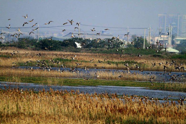 茄萣濕地提供大量南下避冬的候鳥一個大面積的安全棲息環境。 攝影/茄萣濕地文化協會...