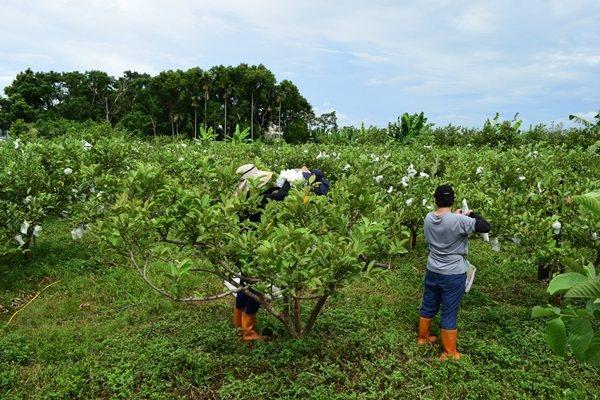 謝美麗的果園登記「wwoof世界有機農場機會組織」,透過打工換宿分享有機栽種。