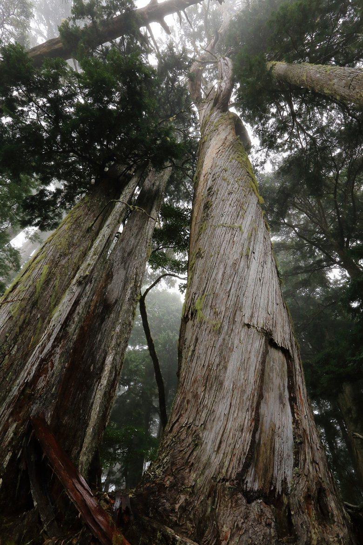 研海林道最壯碩的扁柏神木之一,樹形筆直,直徑將近兩米,趴在他身上猶如螻蟻一般的嬌小,震懾著每一個過往山人,讓人迷戀久久不能離去。 圖/作者自攝
