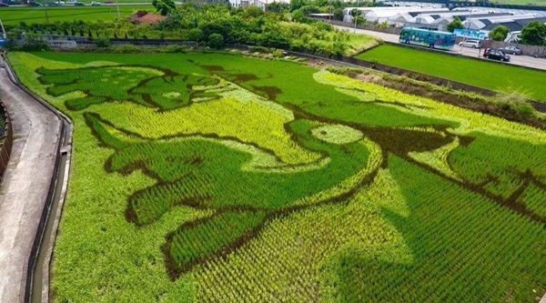 苗栗縣苑裡鎮農會藺草文化館旁的稻田彩繪示範區。 圖/林滄淵提供