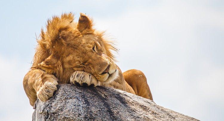 獅子型睡眠者—早起。